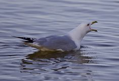Beautiful isolated picture with a gull screaming in the lake Stock Photo
