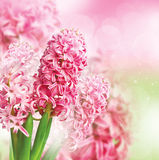 Beautiful background with hyacinth Stock Image