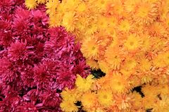 Beautiful background image of hardy mums in the color of yellow and pink. Gorgeous backdrop of colorful hardy mums in hues of yellow and pink Stock Image