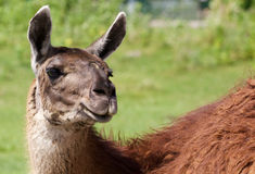 The beautiful background with a lama Royalty Free Stock Images