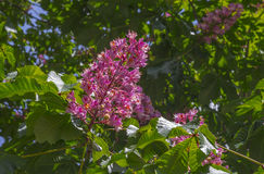 Beautiful background of leaves and flowers of pink chestnut Royalty Free Stock Images
