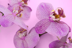 Beautiful background of leopard Phalaenopsis orchid flowers. Royalty Free Stock Images