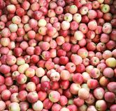 Background of red organic apples ready to eat Stock Image