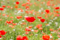 Beautiful background of meadow flowers and red poppies. Beautiful summer background with meadow flowers and red poppies Royalty Free Stock Image