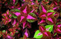 Coleus wizard pastel tropical plant stock photos