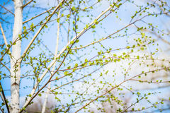 Beautiful background of new, fresh birch leaves on branch, blue sky with white clouds. Green leaves of birch tree in spring. Royalty Free Stock Photos