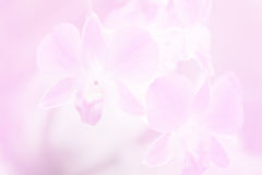 Beautiful Background with Orchid Flower in Pink Color Theme Stock Image