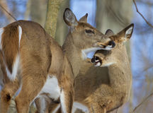 Beautiful background with a pair of the cute wild deers Royalty Free Stock Image