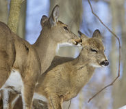 Beautiful background with a pair of the cute wild deers Royalty Free Stock Photos