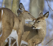 Beautiful background with a pair of the cute wild deers in love Royalty Free Stock Photography