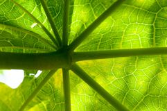 Background of pattern and venation of tropical leave. Beautiful  background of pattern and venation of green leave Stock Images
