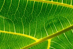 Background of pattern and venation of tropical leave. Beautiful  background of pattern and venation of green leave Royalty Free Stock Image
