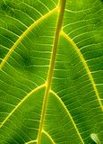Background of pattern and venation of tropical leave. Beautiful  background of pattern and venation of green leave Stock Image