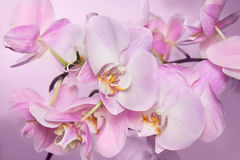 Beautiful background of Phalaenopsis orchid flowers Stock Images
