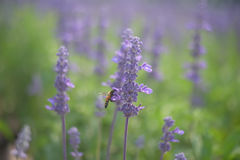 Beautiful background. purple lavender flower Stock Photos