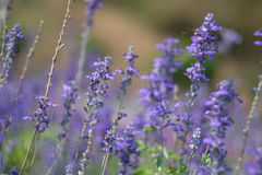 Beautiful background. purple lavender flower Royalty Free Stock Photo
