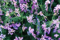 Beautiful background of purple wildflowers. Natural textures and backgrounds. Macro view of abstract nature texture and background. Organic pattern. Copy space stock photography