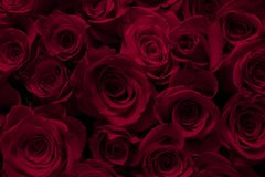Red roses, red roses background,large scarlet roses stock photo
