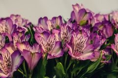 Beautiful background of red and pink Alstroemeria flowers on wood background. Tinted glass. Copy space. The horizontal frame Stock Image