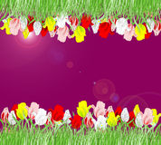Beautiful background of red, yellow, pink and white tulips Royalty Free Stock Photography