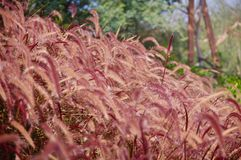 A beautiful background of reddish grass mixed with some green. Plants found in the parks of the United Arab Emirates Royalty Free Stock Photography