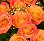 Beautiful background of rose Royalty Free Stock Image