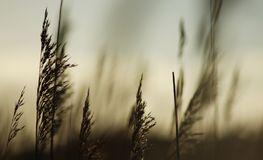 A beautiful background from the silhouette of a grass haulm against the evening sun royalty free stock photos