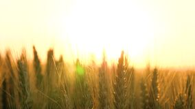 Beautiful background. Spikelets of maturing wheat waved in the wind.