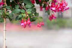 Beautiful background with tall pink fuchsia plant growing in the urban background. The horizontal frame royalty free stock images