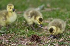 Beautiful background with three chicks of the Canada geese Royalty Free Stock Images