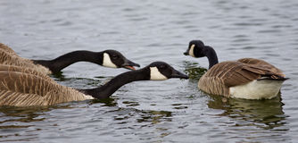 Beautiful background with three swimming Canada geese Stock Photos