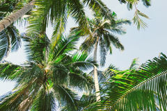 Beautiful background with tropical palm trees. View from below upwards on palm trees against the sky.Palm trees in the sunlight. Paradise design banner Royalty Free Stock Photos