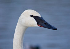 Beautiful background with the trumpeter swans. Beautiful background with the trumpeter swan on the winter evening Royalty Free Stock Image