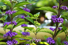 Beautiful background of violet and green seed Japanese herb tree.  Stock Photos