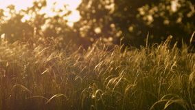 Beautiful background with waving grass and trees at sunset stock footage