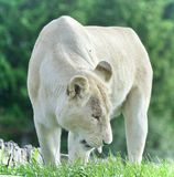 Beautiful background with a white lion walking Stock Photo