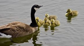 Beautiful background with a young family of Canada geese swimming. Beautiful isolated photo of a young family of Canada geese stock photos