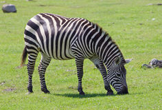 Beautiful background with the zebra on the field Stock Photography