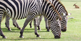 Beautiful background with the zebras Stock Photography