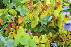 Beautiful backgrounds nature green leaves are bright Royalty Free Stock Photo