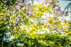 Beautiful backlit clemaits flowers on branches. At the gate of the garden, close up beautiful, romantic shot royalty free stock photography