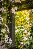 Beautiful backlit clemaits flowers on branches at the gate of the garden,. Close up beautiful, romantic shot stock photography