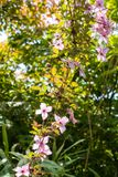 Beautiful backlit clemaits flowers on branches at the gate of the garden. Close up beautiful, romantic shot stock image