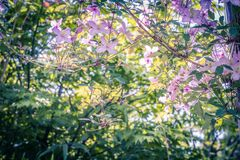 Beautiful backlit clemaits flowers on branches at the gate of the garden,. Close up beautiful, romantic shot Royalty Free Stock Image