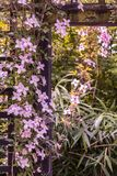 Beautiful backlit clemaits flowers on branches at the gate of the garden. Close up beautiful, romantic shot stock images