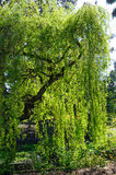 Beautiful backlit view of weeping willow tree Royalty Free Stock Photo