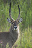 A beautiful backlit waterbuck (Kobus ellipsiprymnus) ram Stock Image