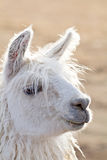 Beautiful Backlit White Llama Head. The head of a beautiful white llama backlit by the sun royalty free stock image