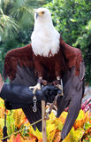 Beautiful bald eagle on hand Stock Image