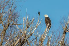 Bald eagle perched on a dead tree with a starling looking on stock photography